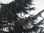 Donato Di Marco mentre taglia l'albero procedendo dall'alto verso il basso - Ph. Giovanni Leonardi