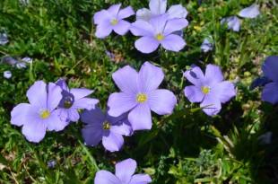 Foto n. 4  Fiore di Linum alpinum Jacq nei prati d'alta quota del Gran Sasso. Ph. N.Olivieri