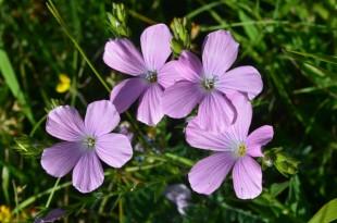 Foto n. 5 Fiore di Linum viscosum L. nei pascoli del Gran Sasso. Ph. N.Olivieri