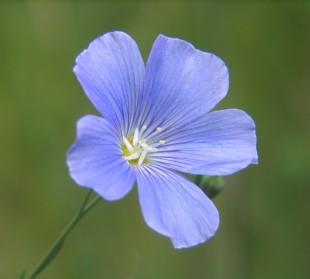Foto n. 3 Fiore di lino coltivato (Linum usitatissimum L.)