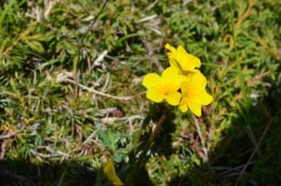 Foto n. 6  Fiore di Linum capitatum subsp. serrulatum (Bertol.) Harvig in prati d'alta quota del Gran Sasso. Ph. N.Olivieri