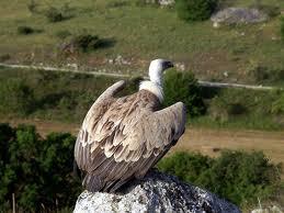 Grifone - Immagine dell'ente Parco Nazionale del Gran sasso Monti della Laga